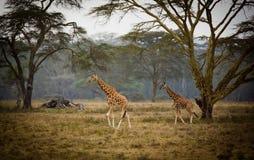 Two giraffe Stock Photography