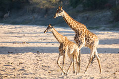 Two giraffe crossing dry river bed looking for fresh trees Stock Photos