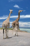 Two Giraffe on deep blue sky background Stock Photos