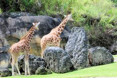 Two giraffe females Stock Photo