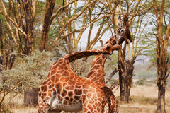 Two Giraffe Fighting Royalty Free Stock Photos