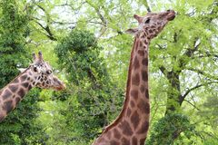 Two giraffe in forest Stock Images