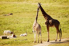 Two giraffe friends Stock Images