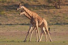 Two giraffe (Giraffa camelopardalis). In Kgalagadi, South Africa Stock Photos