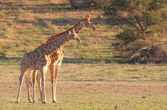 Two giraffe (Giraffa camelopardalis) Stock Images