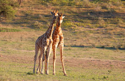 Two giraffe (Giraffa camelopardalis). In nature reserve in South Africa Royalty Free Stock Images