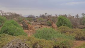 Two Giraffe Go To the Trees to Eat Their Leaves, the African Reserve 4K stock footage