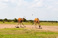 Two Giraffe on Green Grass Stock Images