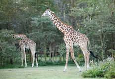 Two Giraffe near Lake Naivasha Royalty Free Stock Image