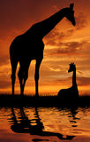 Two giraffe over sunrise. Two silhouettes of giraffes water sunset Royalty Free Stock Photo