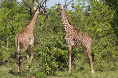 Two Giraffe Royalty Free Stock Photo
