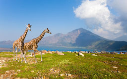 Two giraffe in savannah on background of mountains Stock Photo