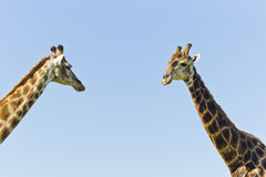 Two giraffe standing close to each other Stock Image