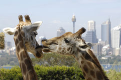 Two giraffe. At Sydney zoo, Australia Royalty Free Stock Photos