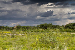 Two Giraffe under a thundercloud Stock Photos