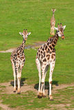 Two giraffe walking Stock Photography