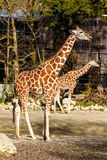 Two giraffe in a zoo enclosure Stock Photography