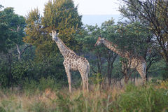 Two giraffes. Two giraffe standing between the trees royalty free stock photos