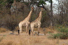 Two giraffes. In moremi reserve Royalty Free Stock Photo