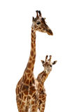Two giraffes Stock Photography