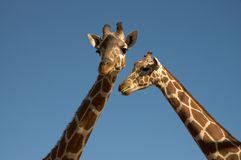 Two Giraffes. Close-up from necks to head Stock Images