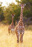 Two giraffes. A pair of giraffes at the Kruger nation park in South Africa Royalty Free Stock Photography