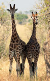 Two giraffes. Stock Image