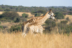 Two giraffes. Walking together in the African plains. Kruger National Park; South Africa Stock Photo