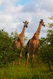 Two giraffes Stock Image