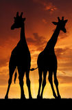 Two giraffes. In orange sunset Royalty Free Stock Photography