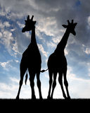 Two giraffes. In the sunset Stock Images
