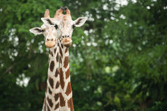 Two Giraffes. In the zoo Stock Images