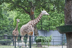 Two giraffes. In the zoo Royalty Free Stock Photo