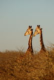 Two giraffes. Looking in same direction in etosha national park, namibia Stock Image