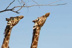 Two Giraffes Royalty Free Stock Photography