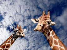 Two Giraffes. View of two giraffes from mid-neck upward, taken from a low perspective. Blue sky with clouds in background Royalty Free Stock Photography