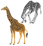 Two giraffes. On a white background Vector Illustration