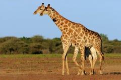Two giraffes royalty free stock image