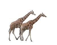 Two giraffes. Two walking giraffes isolated on white background Stock Photo