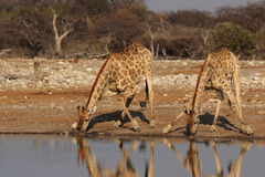 Two Giraffes. Drinking at the waterhole in the Etosha National Park, Namibia royalty free stock image