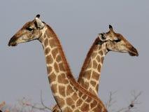 Two Giraffes. In the Etosha National Park, Namibia stock photo