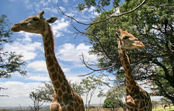 Two Giraffes. Against a blue sky Royalty Free Stock Image