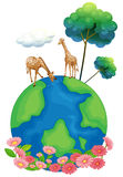 Two giraffes above the earth. Illustration of the two giraffes above the earth on a white background Stock Photo