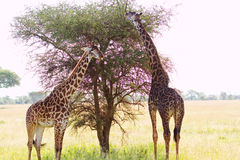Two giraffes in Africa Stock Photo