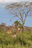 Two giraffes are in the African savannah. Serengeti National Park of Tanzania Stock Photo