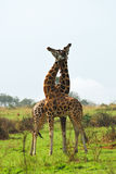Two giraffes in the african savannah Stock Photos