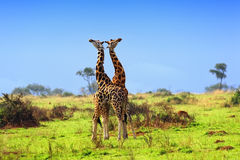 Two giraffes in the african savannah Stock Images