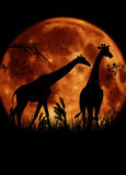 Africa, silhouette of two giraffes with big moon. Two African giraffes with a big orange moon behind / trees with branches and grass on the ground Stock Photos