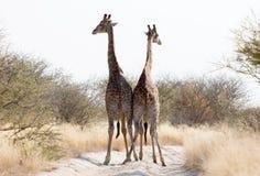 Two giraffes blocking the road, Kalahari royalty free stock photography