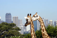 Two giraffes with city in background Royalty Free Stock Images